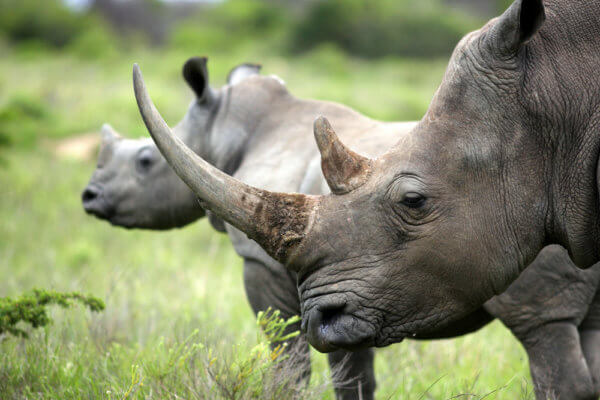 The Rhino Coin plans on helping stop the poaching of rhinos and make sure the species does not go extinct.